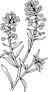 Pin Lavender Clipart Black And White 12