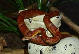 Corn Snake Shedding Signs by Corn Snakes Petlife