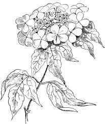 Click To See Printable Version Of Viburnum Opulus Or Guelder Rose Coloring Page