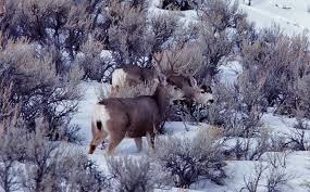 Does Deer Shed Their Antlers by Yellowstone U0027s Photo Collection