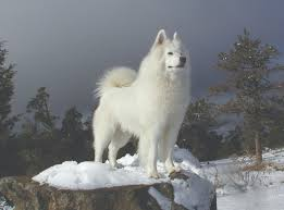American Eskimo Shedding Problem by Appearance Samoyed Club Of America