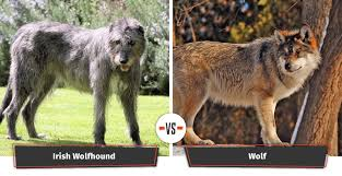 Irish Wolfhound Non Shedding by Dogs That Look Like Wolves 22 Dogs That Have A Lupine Look
