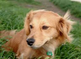 Do Long Haired Chiweenies Shed by Chiweenie Chihuahua U0026 Dachshund Mix