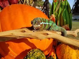 Pumpkin Patch Tarantula Bite by Chameleon In The Pumpkin Patch The Reptile Report