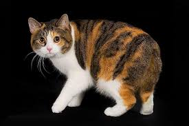 shorthair cat price top 10 most expensive cat breeds in the world petsme org best