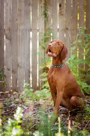 Vizsla Dog Breed Shedding by 88 Best Vizslas Images On Pinterest Hungarian Vizsla Dogs And