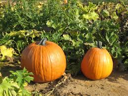 Pumpkin Patch Medford Oregon by The 12 Best Pumpkin Patches In New Jersey To Visit This Fall