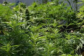 recolte cannabis exterieur date autoproduction de cannabis en extérieur du growshop alchimia