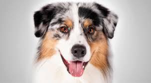 Small Non Shedding Dogs Australia by Australian Shepherd Health U0026 Care Information