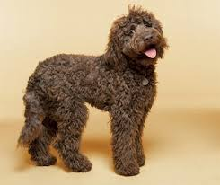 List Of Non Hypoallergenic Dogs by Top 30 Dogs That Don U0027t Shed Small Medium And Large Breeds Pet
