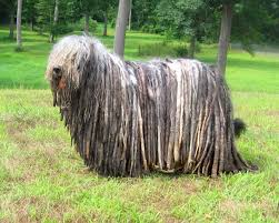 Dogs That Shed Hair by 30 Incredibly Rare And Exotic Dog Breeds That You Need In Your