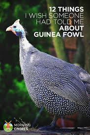 12 Things About Guinea Fowl I Wish Someone Had Told Me Raising Turkeys Morning Routine Youtube 117 Best Helpful Tips And Tricks For Livestock Pets Images On What Do Wild Turkeys Eat Feeding Birds Your Homestead Homesteads Turkey 171 Ducks Geese Guineas Farm Tales A Holiday Feast In Our Own Backyard Free 132 Pinterest Backyard Chickens 1528 Chickens Coops Chicken How To Raise Hgtv Bring Up Other Fowl