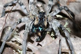Remains Of The Day Spiders by Wolf Spider Lepscience