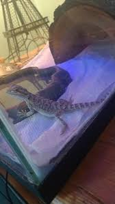 Bearded Dragon Heat Lamp Went Out by New To This Site And An Newbie With Bearded Dragons U2022 Bearded