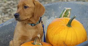 Pumpkin For Pets Diarrhea by Does Canned Pumpkin Help With Dog Diarrhea