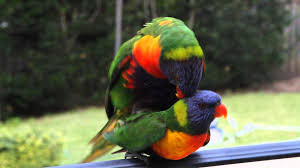 Two Wild Rainbow Lorikeets Having Sex/mating With Each Other - YouTube Diy Backyard Ideas Turning Metal Wire Into Beautiful Garden Squirrels Having Sex In My Yard Youtube Regina T Tokyo Kiyosumi My Dream The 12 Best Places To Have Sex Glamour Where Do You Go To Bed Survey Sleep Cupid 25 Memes About Your Bitch Backyard Creek Ideas Pinterest Backyards Bri On Twitter Brother Just Sent Us This Pic Of Deer How Homeowners Are Making Front Yards The New Backyards Swings Swing Sets Diy Diy