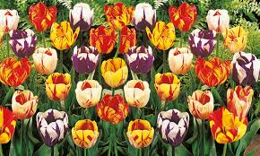 pre order rembrandt mixed tulip bulbs 16 24 or 40 pack