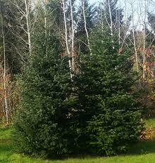 Fraser Fir Christmas Trees Delivered by Oregon Christmas Trees Delivered Nw Sw Portland Beaverton