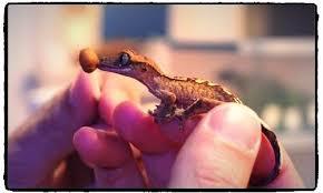Crested Gecko Shedding Behavior by Gecko Bros Buy Crested Geckos