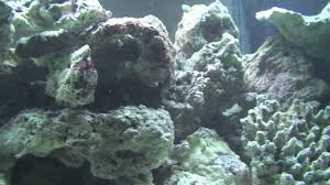 SW Rebuild - Part 14 - Live Rock & Sand Aquascaping - YouTube Aquarium Aquascaping Rocks Aquascape Designs Ideas Project Reef Rock 21 Dry Walt Smith Bulk Supply Review Real Generation 4 Digitalreefs News Info How To Live Purple Live Rock Youtube Updated Clear Pics Newbies Attempt At Aquascaping So Far 3reef Design Aquafishvietcom Bring Back The Wall News Builders Keeping Austin Club Walls For A Tank Callorecom River Suggestion Planted Forum