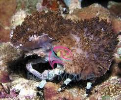 Decorator Crab Tank Mates by Freshmarine Decorator Crab Xenocarcinus Species Buy