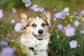 30 Dog Breeds That Shed The Most by Pembroke Welsh Corgi Dog Breed Information Pictures