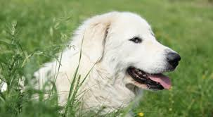 purebred star great pyrenees the smart living network