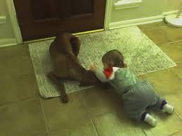 do vizsla dogs shed why choose the vizsla