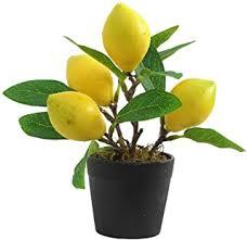 suchergebnis auf de für zitronenbaum