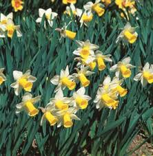 daffodil flowers how to grow narcissus bulbs garden design