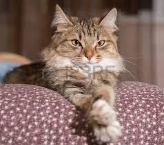 cat on cat stock photos royalty free cat images and pictures