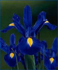 iris blue magic iris iris flower bulb index