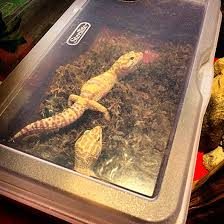 Do Leopard Geckos Shed by Ensuring The Correct Humidity For Pet Leopard Geckos U2013 Leopard