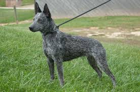 Non Shedding Small Dogs Australia by Australian Stumpy Tail Cattle Dog Wikipedia