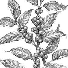 Pencil Sketch Motley Coffee Plant