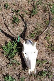Deer Antler Shed Trap by Taxidermy Skull Preparation 5 Steps