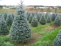 Bengtson Christmas Tree Farm by Fancy Plush Design Black Hills Spruce Christmas Tree Hill Bengtson