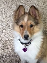 13 week old Sheltie puppy