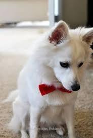 american eskimo gangster dogs american eskimo a n i m a l s