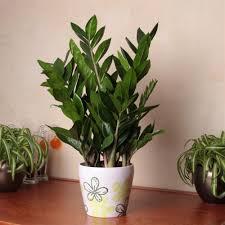 Best Bathroom Pot Plants by Zamioculcas Zamiifolia 1 Plant Amazon Co Uk Garden U0026 Outdoors