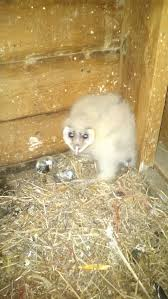 Baby Barn Owls Everywhere! - Badger RunBadger Run Barn Owl Focus On Cservation Best 25 Baby Ideas On Pinterest Beautiful Owls Barn Steal The Show As Day Turns To Night At Heartwood Family Ties Owl Chicks Let Their Hungry Siblings Eat First The Perch Uncommon Banchi Baby Coastal Home Giftware From Horizon Stock Image Image Of Small Young Looking 3249391 You Know Birdnote Banding By Alex Lamoreaux Nemesis Bird