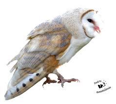 Cut-out Stock PNG 108 - Sweet Barn Owl By Momotte2stocks On DeviantArt Photographs Of Barn Owls Leigh Ornithological Society 110317 Greenscape Environmental Owl In Flight Limited Edition Print By Robert E Fuller Designstuff Charming 3 Clotheshopsus Vintage Poster Barn Owl Birds Pinterest Owls Day 207 Katy Lipscomb Online Store Powered Never Lose Hearing Youtube Best 25 Sounds Ideas On Beautiful Its Time To Decorate For Fall Wisdom Art Miss Majewiczs Emporium The Heart Facts Pictures Diet Breeding Habitat Behaviour
