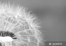 fototapete pusteblume i sw