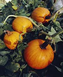 Libbys Canned Pumpkin Nutrition Facts by Is Canned Pumpkin Good For You Livestrong Com