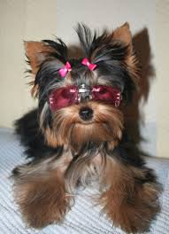 List Of Non Shedding Hypoallergenic Dogs by Best 25 Small Dog Breeds Ideas On Pinterest Small Puppy Breeds