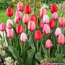 darwin tulip bulbs plant to impress mix american