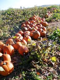 Pumpkin Picking Near Lancaster Pa by Pumpkins And Christmas Trees Work In Tandem On Va Farm Southern