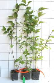 Christmas Tree Seedlings by 75 Best Jeunes Plants D U0027arbres Et D U0027arbustes Baumsetzlinge Und