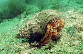 Do Hermit Crabs Shed Their Whole Body by Hermit W Pomatocerus Crop Jpg
