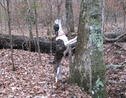 Black Mouth Cur Shed Hunting by Mountain Cur Dog History Archive The Firing Line Forums